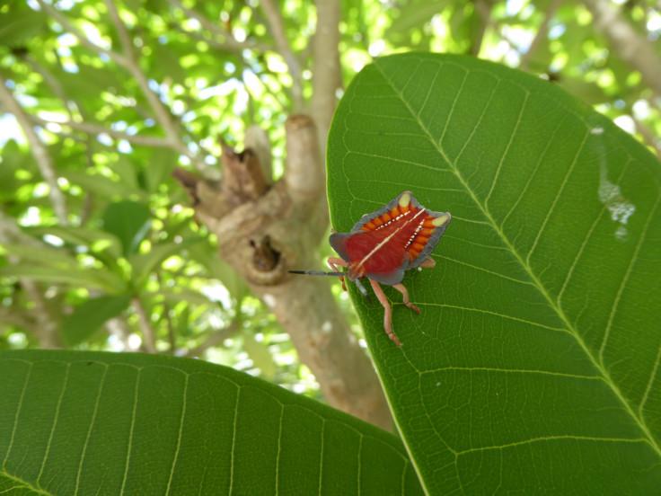 Strang bug